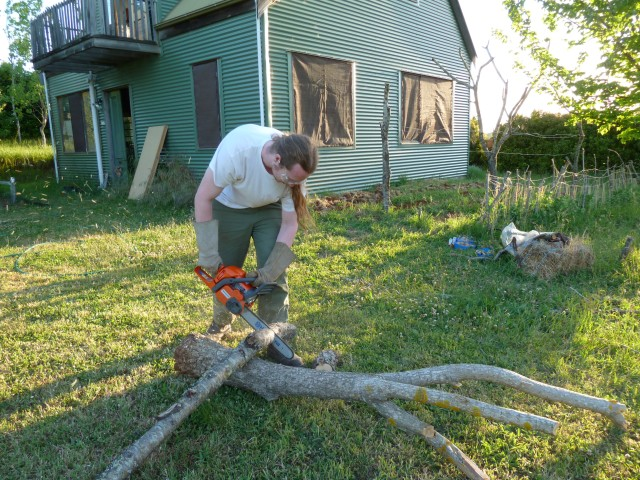 Chainsawing almond tree